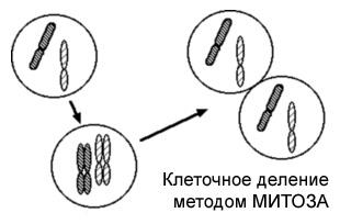 Деление клеток методом Митоза